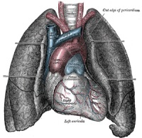 FIG. 490– Front view of heart and lungs.