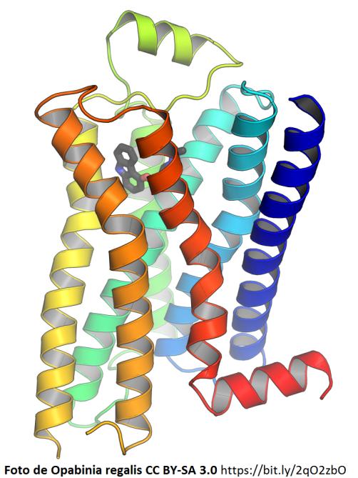 Beta-2-adrenergic-receptor